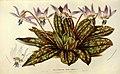 Flore des serres et des jardins de l'Europe (8594789701).jpg