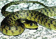 Florida Green Water Snake 2.jpg