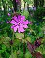 Flower - geograph.org.uk - 443203.jpg