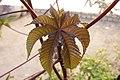 Flower Castor - panoramio.jpg