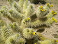 Flowering teddy bear cholla 319.JPG