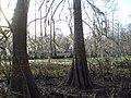 FossePointeCypressSwamp.jpg