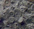 FossileLaudonomphalus regularisP1.jpg
