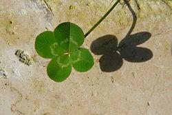 Four-leaved clover.jpg