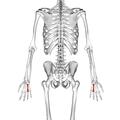Fourth metacarpal bone 02 dorsal view.png
