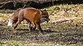 Fox (28001082621).jpg