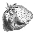 Fraise Docteur Nicaise Vilmorin-Andrieux 1883.png