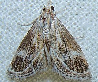 <i>Frechinia helianthiales</i> Species of moth