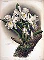 Frederick Sander - Reichenbachia II plate 85 (1890) - Cattleya rochellensis.jpg
