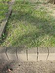 Friedhof Ruhland, Wald-Gelbstern beim Sandsteinrelief gegenüber der Friedhofskapelle, Frühling, 01.jpg