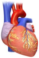 Vista posterior del corazón