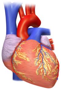 Vista frontal de un corazón humano.