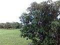 Fruit & Spice Park mango grove - panoramio - quyentr (1).jpg