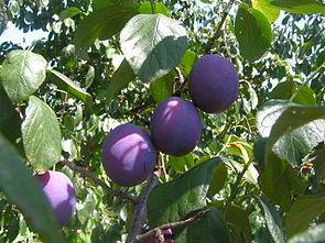 Fruits Prunus domestica.jpg