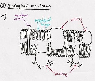 Snake venom - Fully functional membrane