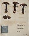 Fungi agaricus seriesI085.jpg