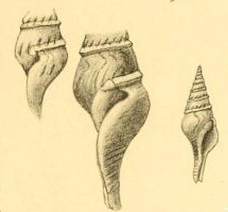 <i>Fusiturris pfefferi</i> Species of gastropod