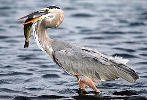 Great blue heron - Dark form
