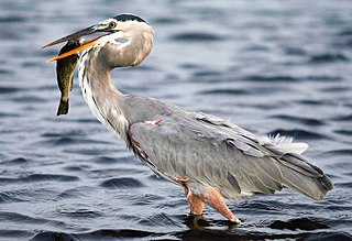 Great blue heron species of bird