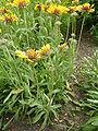 Gaillardia aristata (Compositae) plant.JPG