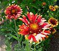 Gaillardia x grandiflora 3.jpg