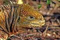 Galápagos land iguana (Conolophus subcristatus).jpg