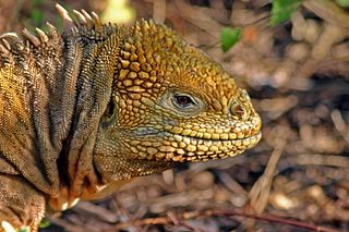 <i>Conolophus</i> Genus of lizards