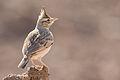 Galerida cristata (Crested lark ).jpg