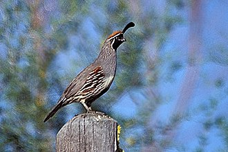 Gambel's quail - Image: Gambel's Quail, Bosque del Apache NWR
