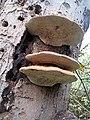 Ganoderma, (Artist's fungus) (2) - geograph.org.uk - 1587954.jpg