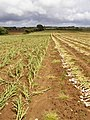 Garlic crop at Bathingbourne Farm - geograph.org.uk - 500775.jpg