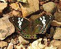 Gaudy Baron Euthalia lubentina Female by Dr. Raju Kasambe DSCN1157 (2).jpg