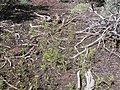 Gayophytum diffusum (4397682584).jpg