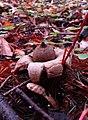Geastrum saccatum 12949114.jpg