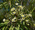 Geijera parviflora 4.jpg