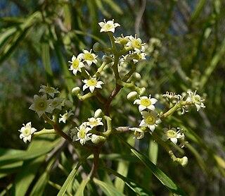 <i>Geijera parviflora</i> Species of plant