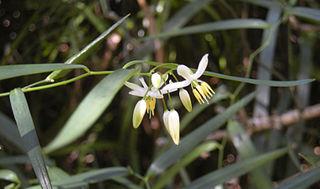 <i>Geitonoplesium</i> genus of plants