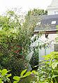 Gelber Schmetterlingsflieder (15446078872).jpg