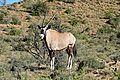 Gemsbok (Oryx gazella) (32647828892).jpg