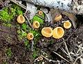 Geopyxis vulcanalis 85594.jpg