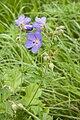 Geranium pratense frechencourt 80 12062008 4.jpg