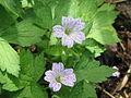 Geranium versicolor02.jpg