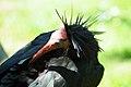 Geronticus eremita -Pensthorpe Nature Reserve-8.jpg