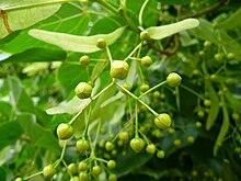 Tilleul grandes feuilles wiktionnaire - Tilleul a grandes feuilles ...