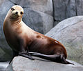 Gfp-california-sea-lion.jpg