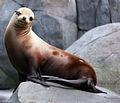 Gfp-california-sea-lion.jpg