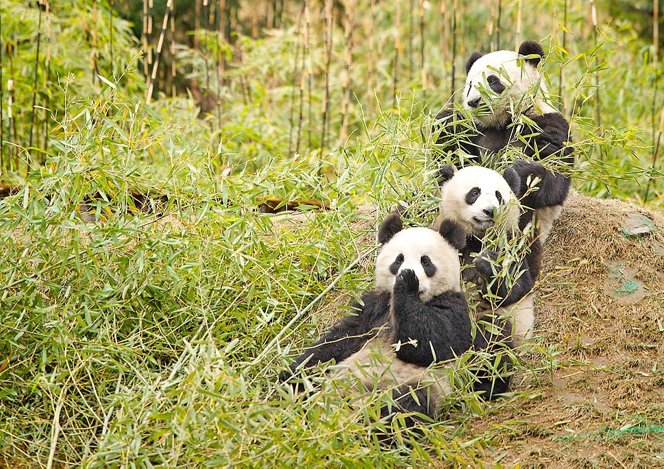 Giant Pandas having a snack
