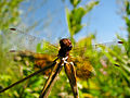 Giant rebus - Red Dragonfly 3 (by).jpg