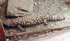Gila.monster.750pix.jpg