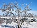 Glazed Trees - panoramio.jpg